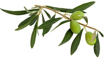 Olive-Leaf2